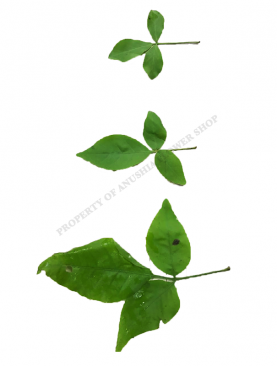 Vilvam Loose Leaves (Available from 4th June onwards)